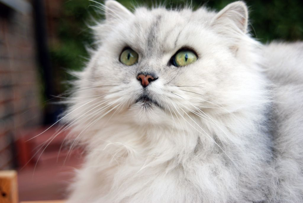 A white Persian cat with green eyes.