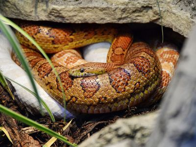 A Guide To Caring For Hognose Snakes As Pets