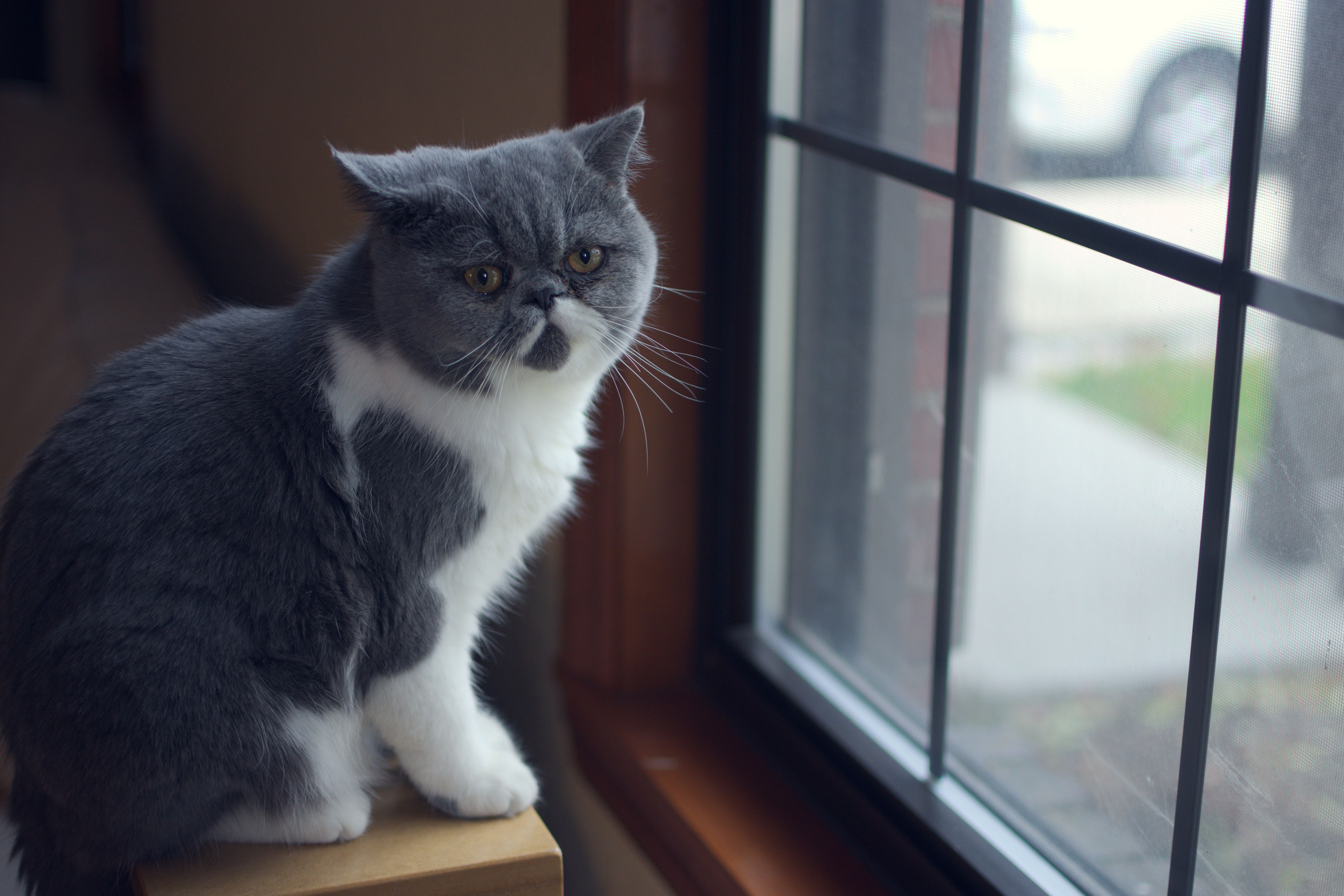 Exotic shorthair cat by a window