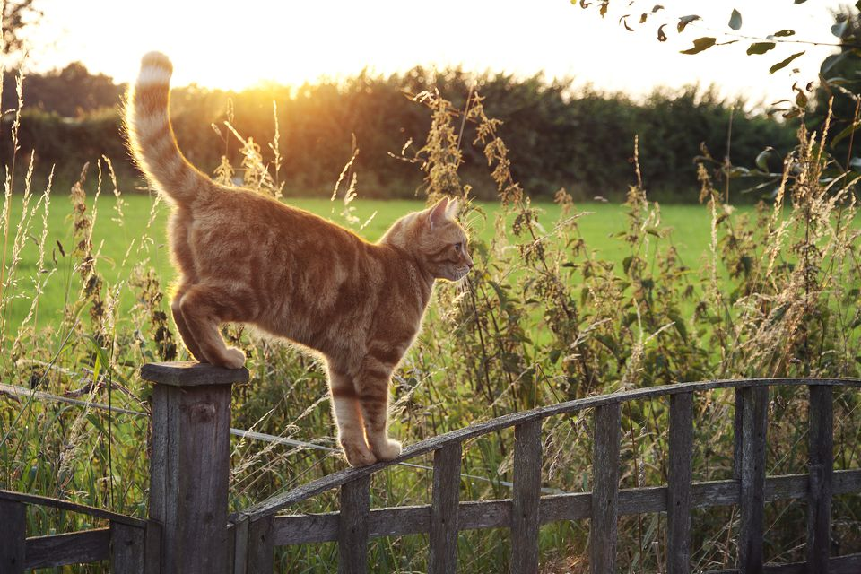 Cat walking on fence outside, marking territory with its tail in the air