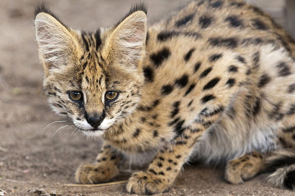Serval, known in Afrikaans as Tierboskat, tiger-forest-cat, is a medium-sized African wild cat. DNA studies have shown that the serval is closely related to the African golden cat and the caracal.