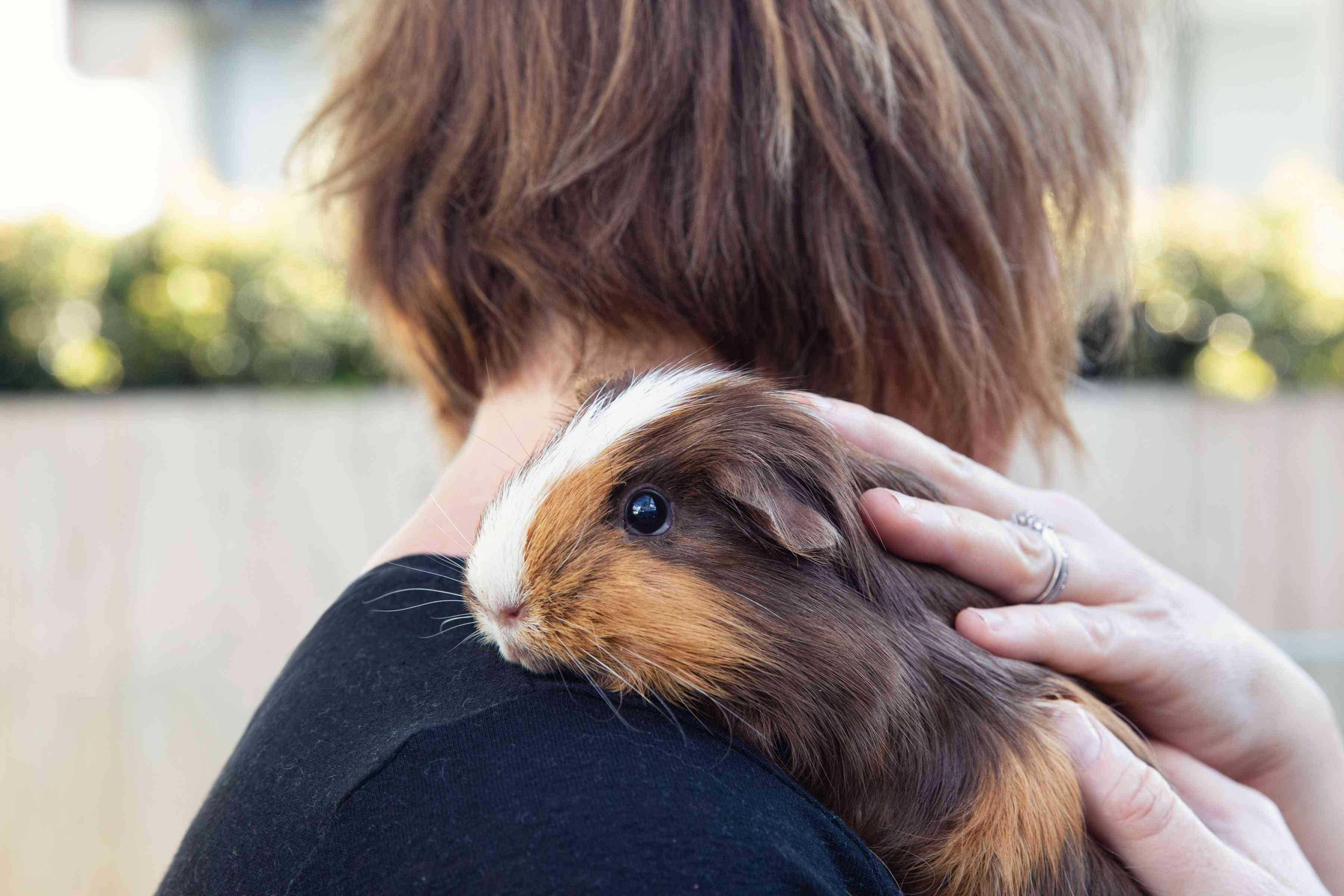 Guinea pig with brown and white hair resting on owner's shoulder