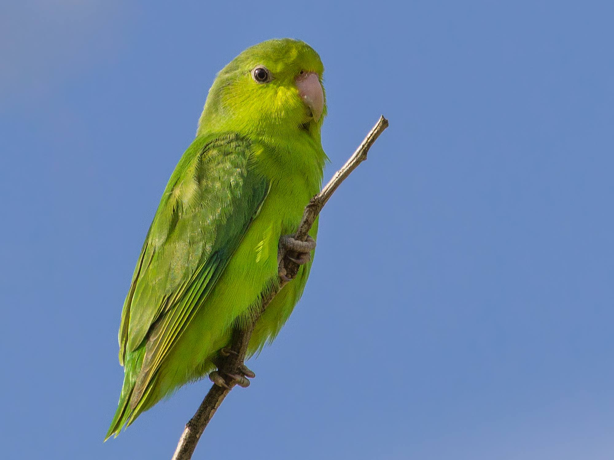 Green parrotlet standing on a branch near the tip