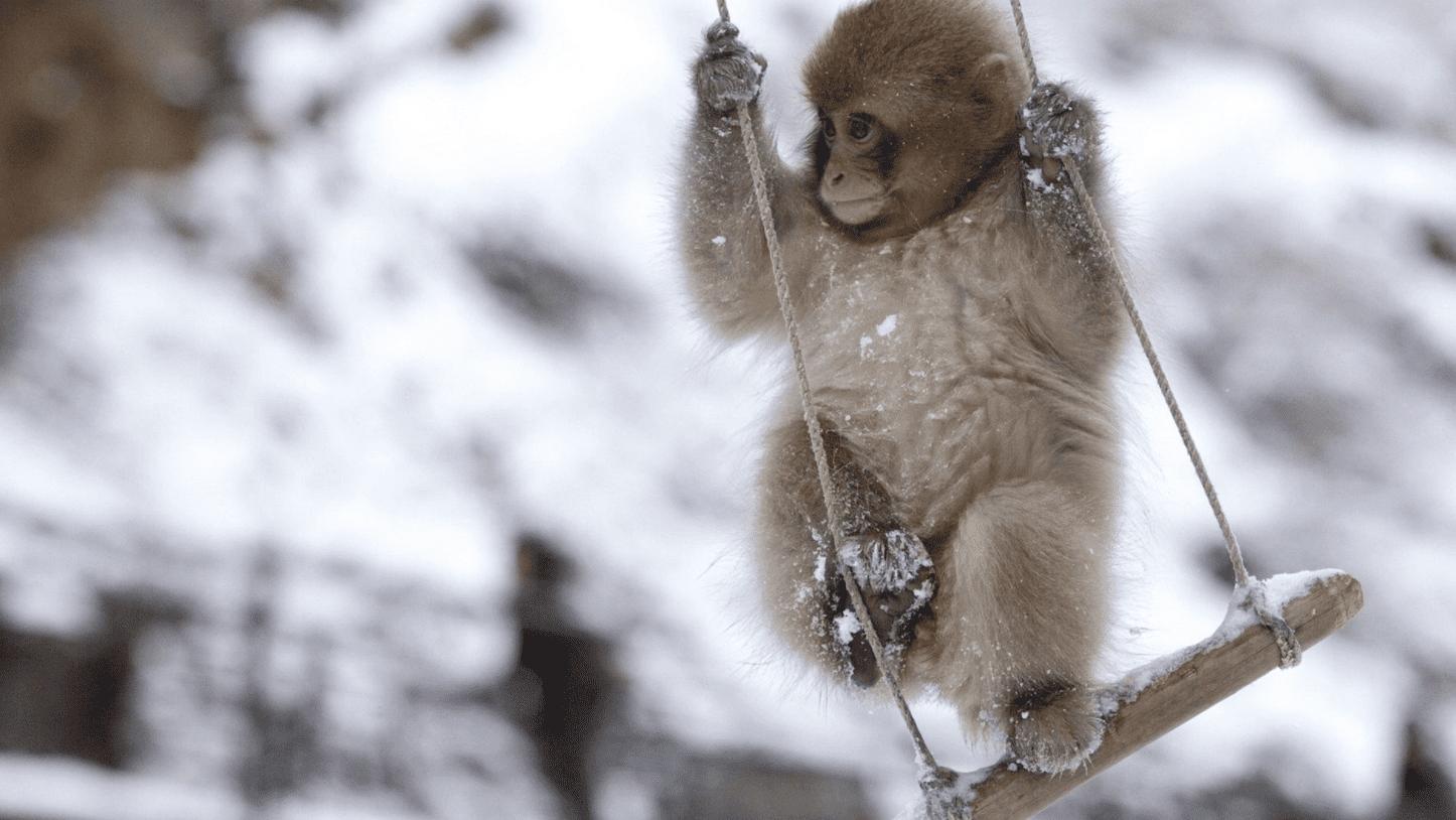 monkey swinging in winter