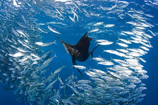 Sailfish hunting sardines