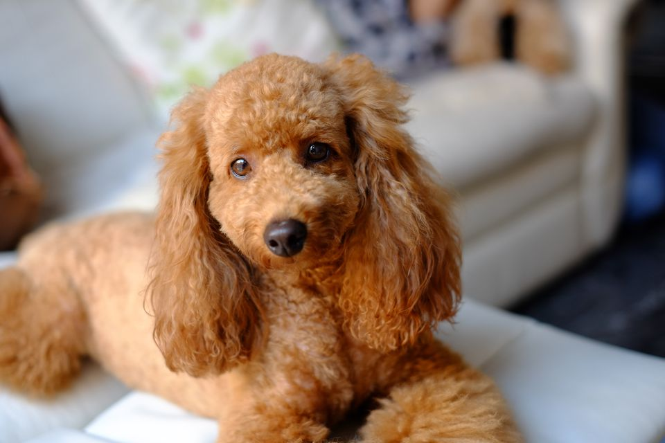 Portrait Of Brown Poodle Sitting On Sofa