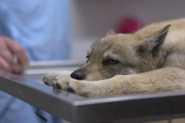 Czech shepherd puppy on the vet's table