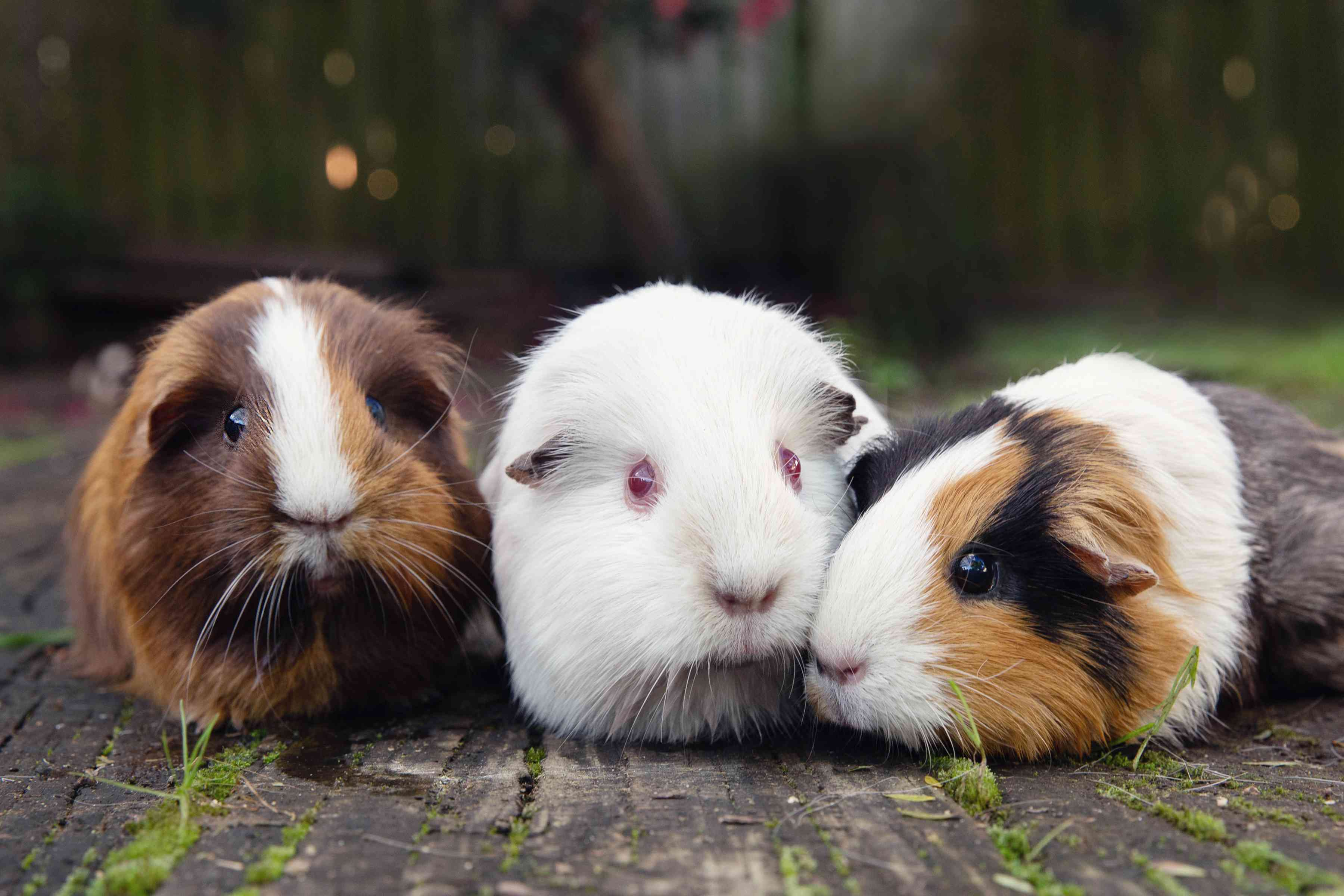 Three guinea pigs with brown and white, all white and black, brown and white fur sitting next to each other