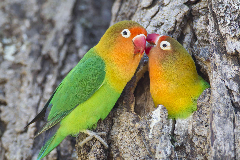 Fischer's Lovebird grooming Best trainable pet birds by thevetscare.com