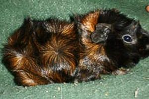Abyssinian Guinea Pig - Mr. Nibbles