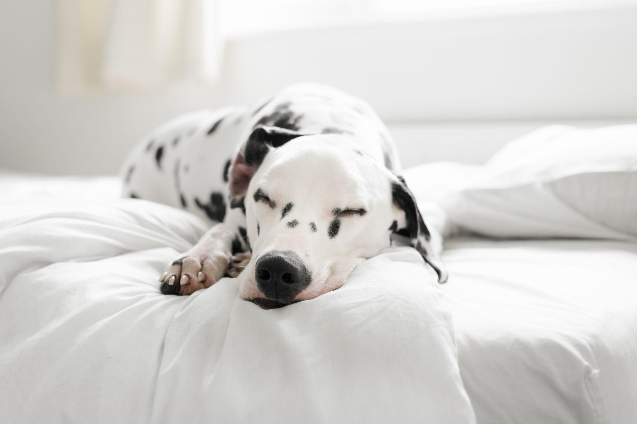 A Dalmatian napping.