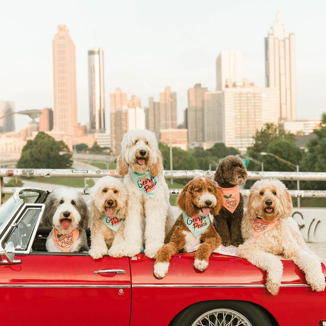 Dogs in small car; thatdoodsquad Instagram