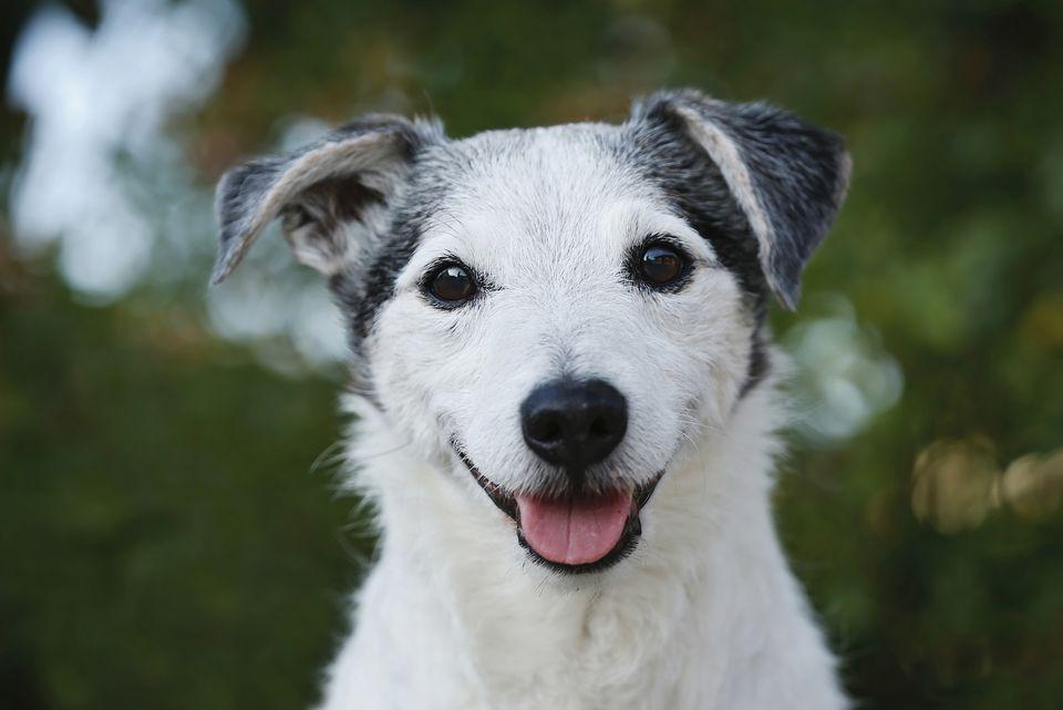 viejo perro sonriendo