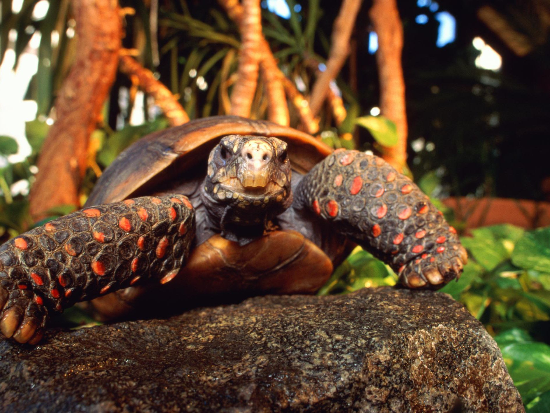 Redfoot Tortoise For Sale Near Me - Risala Blog