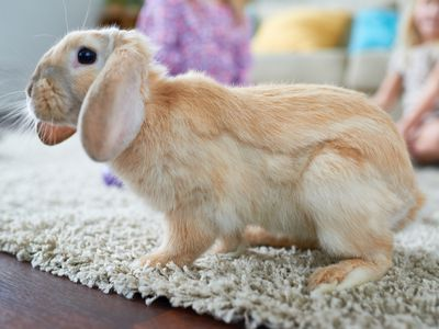 Find out How to Make Your Rabbit Stop Digging up Your Carpet