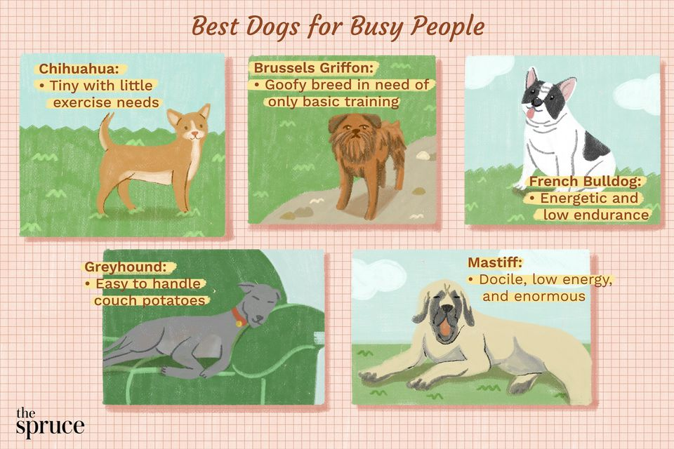 An illustration of the best dogs for busy people, featuring a Chihuahua, Brussels Griffon, and more.