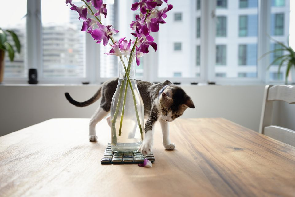 Cat playing with orchid petal on a table.