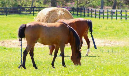 Brown Arabian horses feeding in field with bale of hay behind them