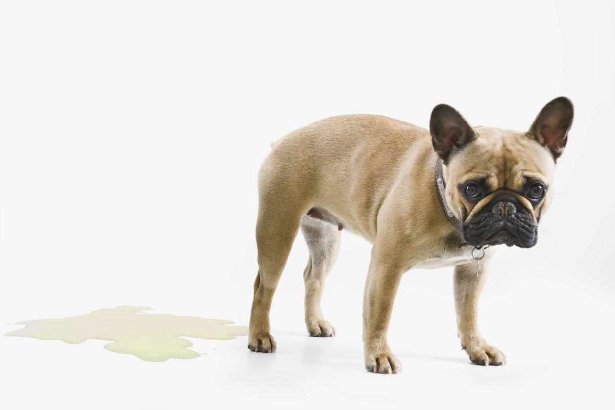 dog pee accident