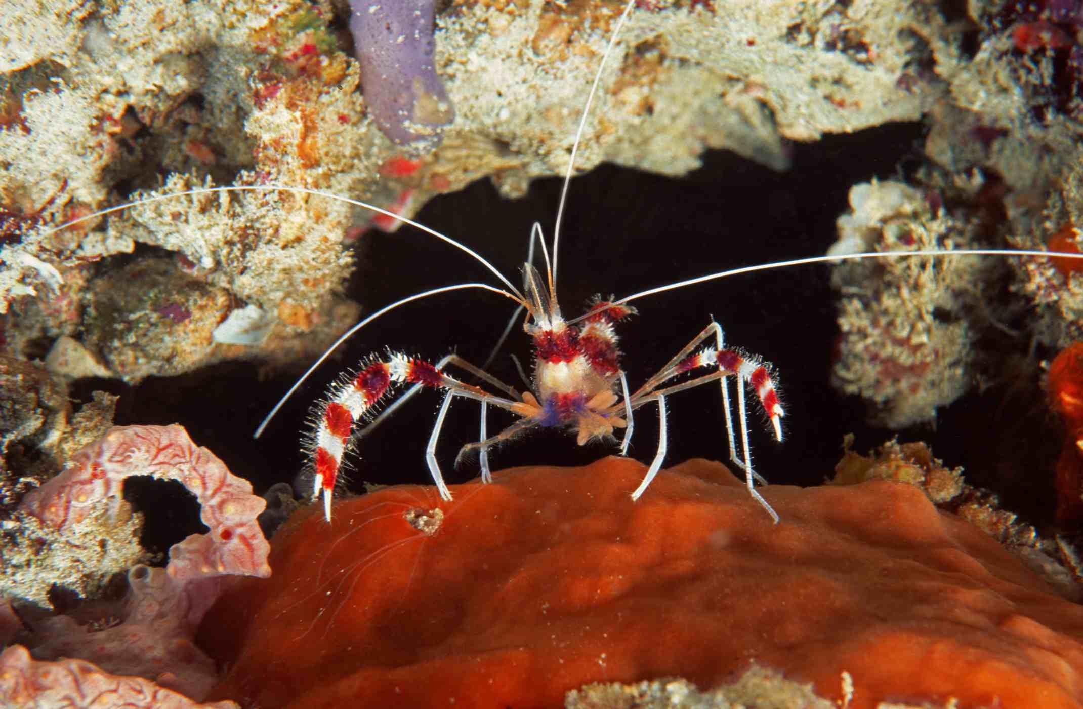 Banded cleaner shrimp sitting on coral reef