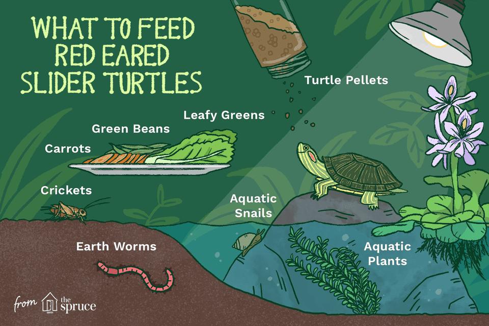 Ilustración de qué alimentar a las tortugas deslizantes de orejas rojas