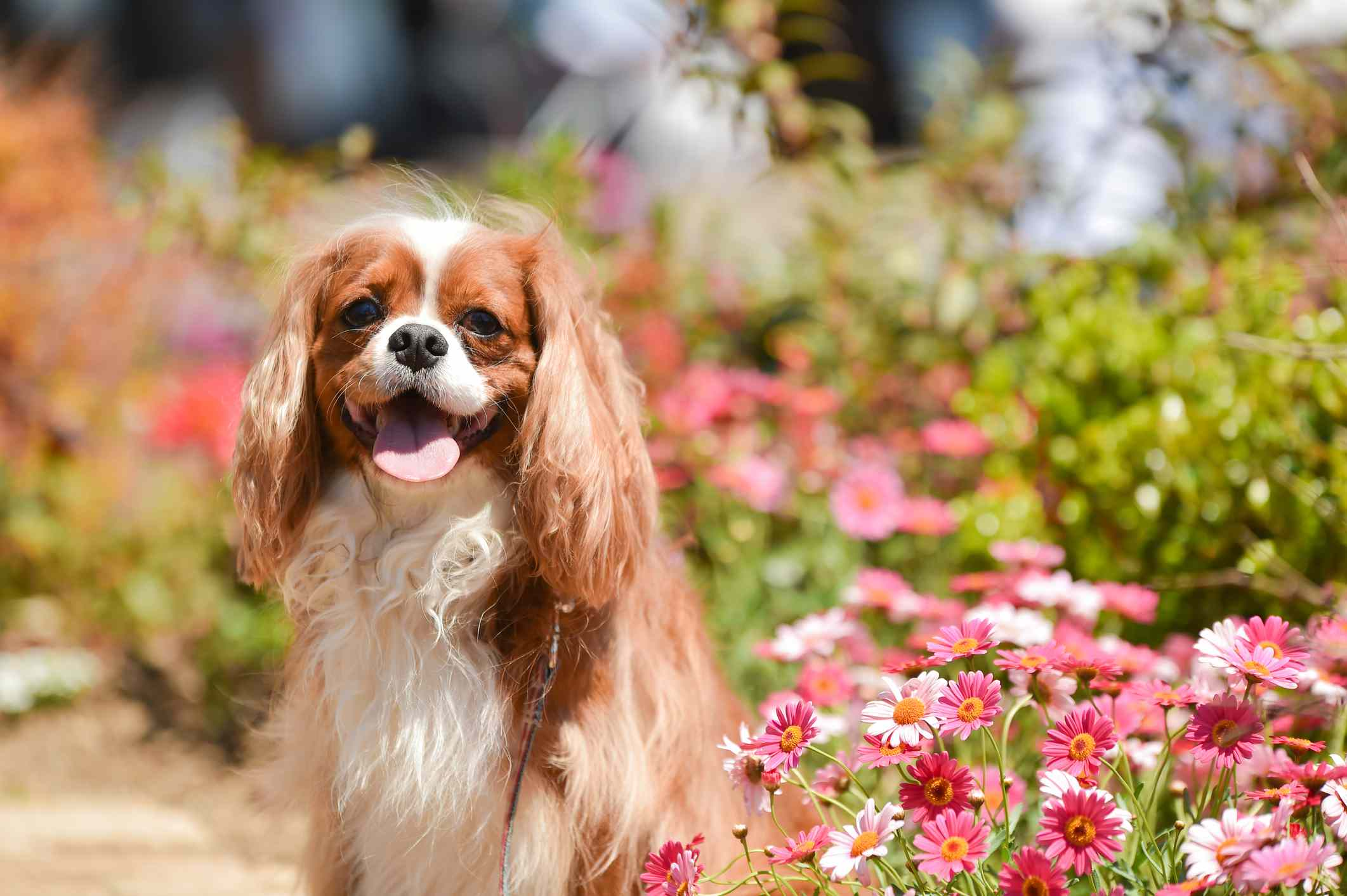A small Cavalier King Charles Spaniel standing in the flower garden.