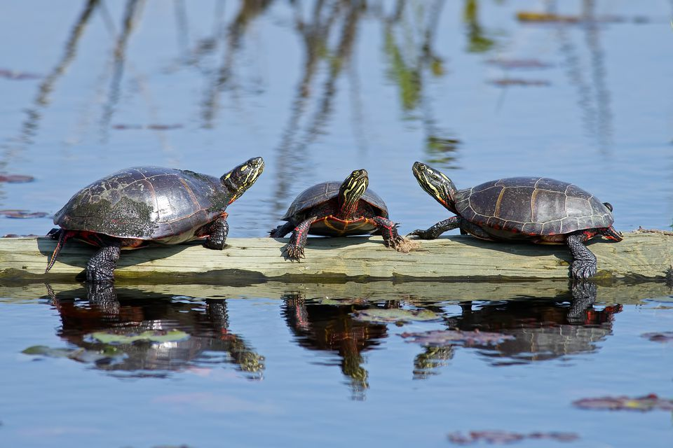 Painted Turtles On A Log In Pond