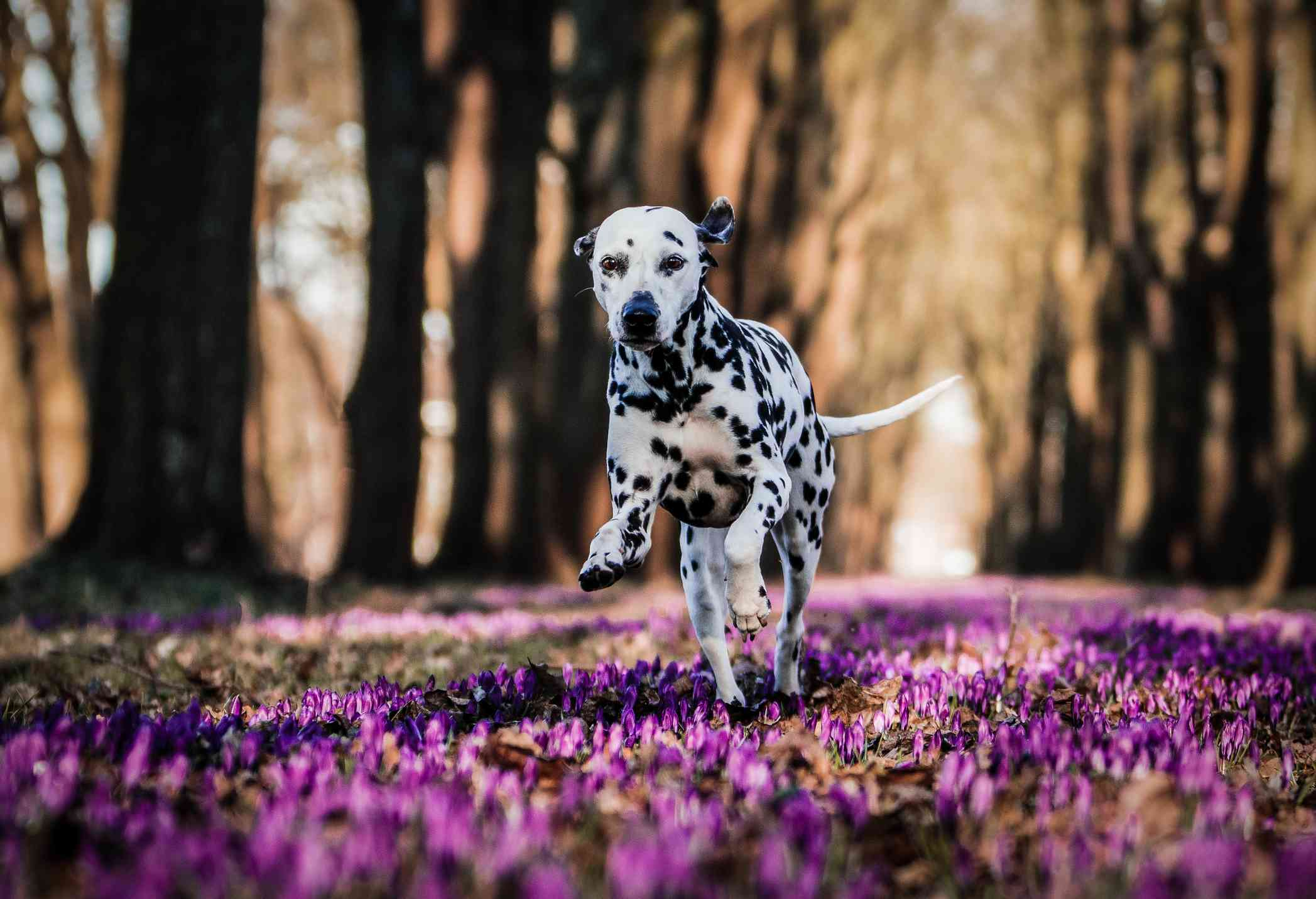 Dalmation dog running over purple flowers