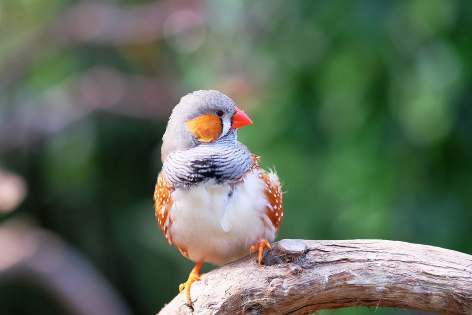 Lovely Zebra Finch