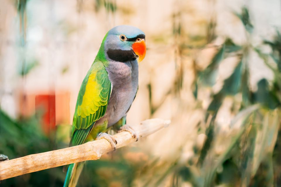 Derbyan parakeet, also known as Lord Derby's parakeet, sitting on perch in roomy cage.
