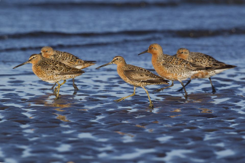 Long-billed Dowitcher (Limnodromus scolopaceus) and Red Knots (Calidris canutus), Grays Harbour, Washington State, USA