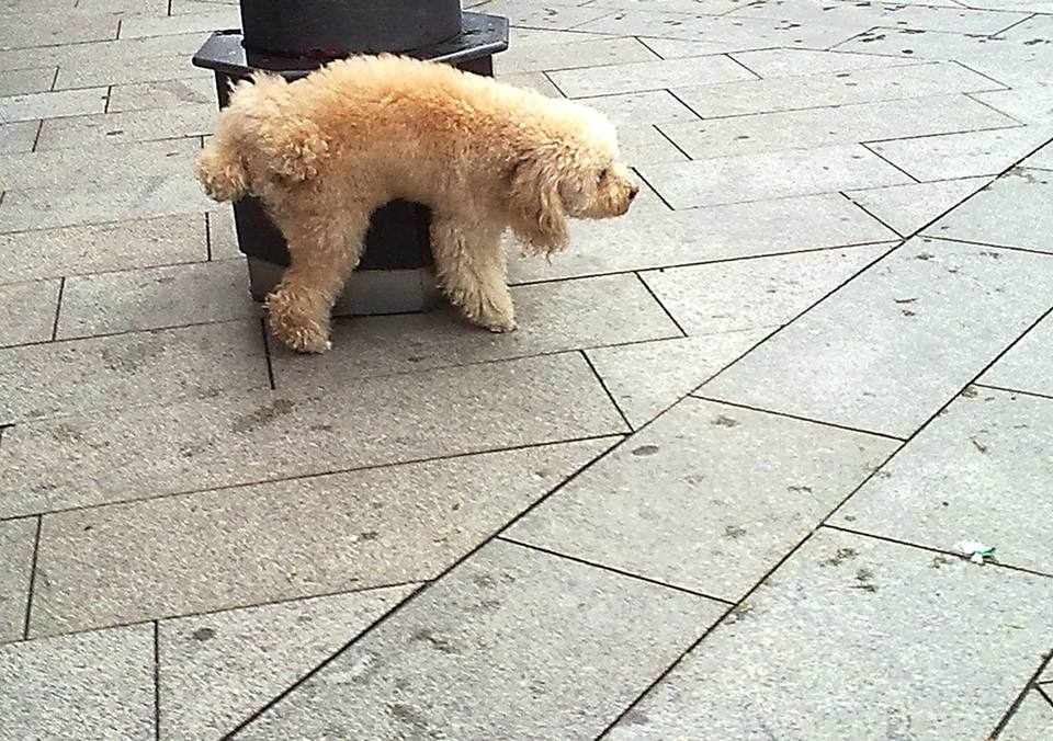 Dog Urinating