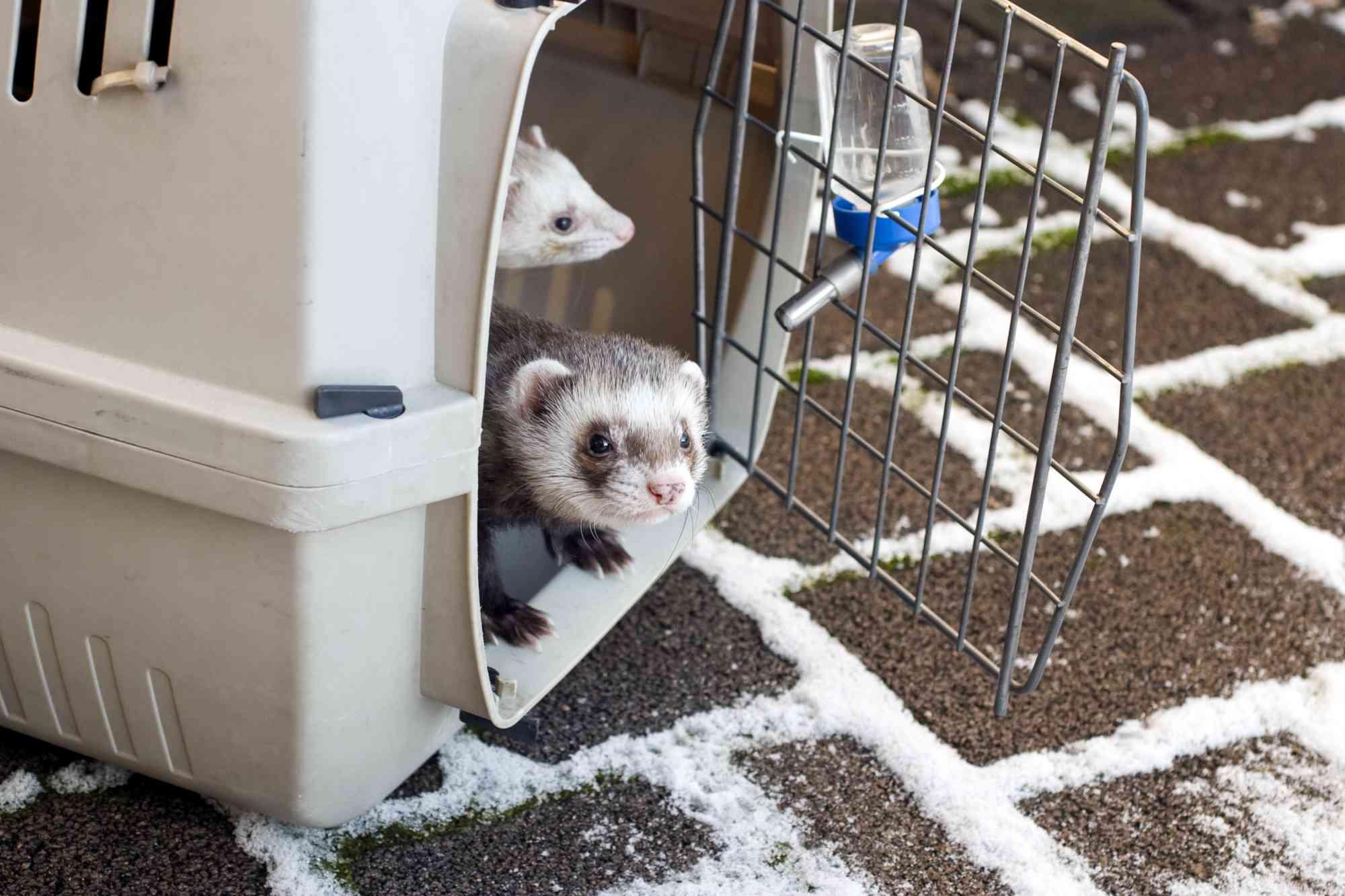 Ferrets in cage with open door