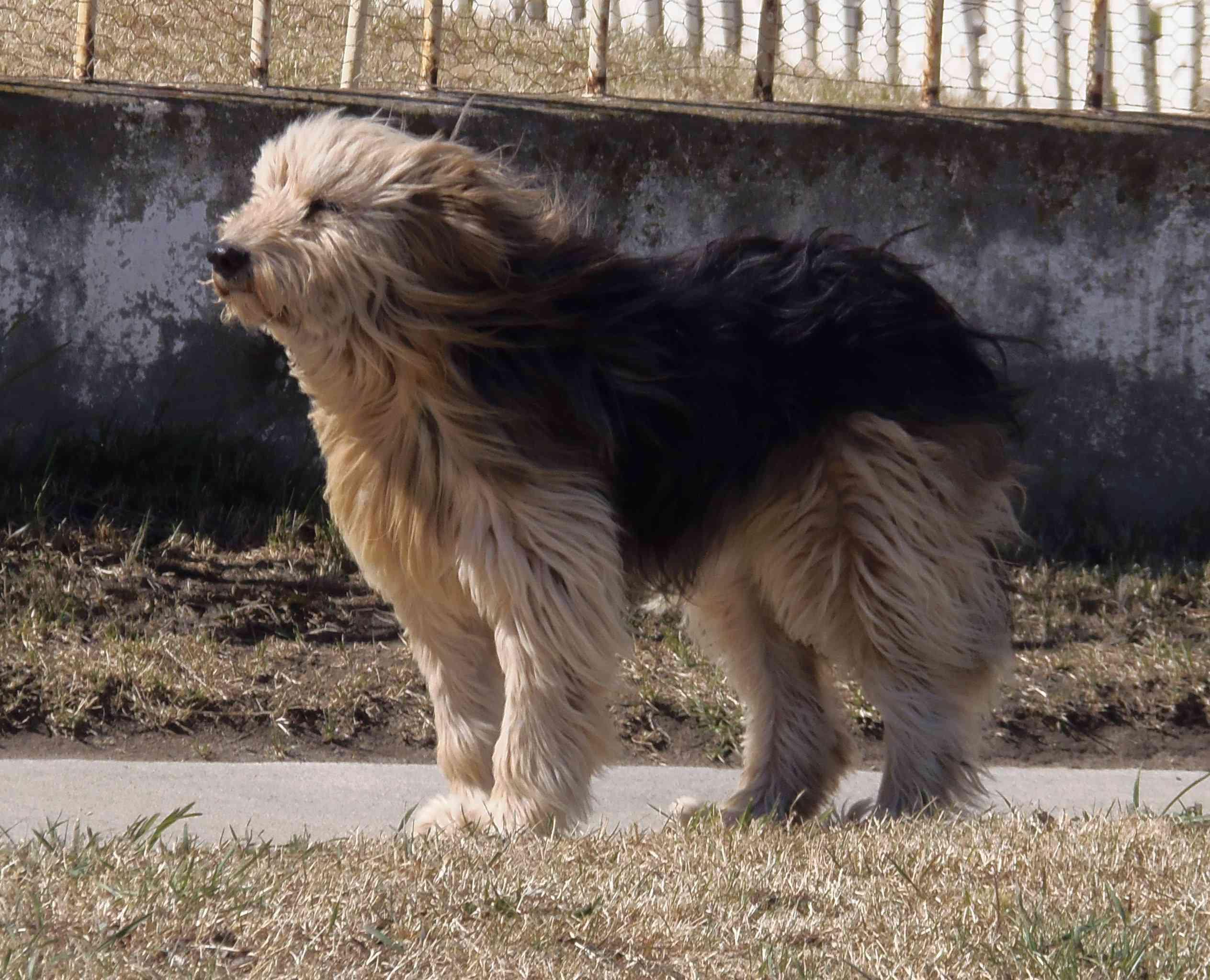 Patagonian Sheepdog