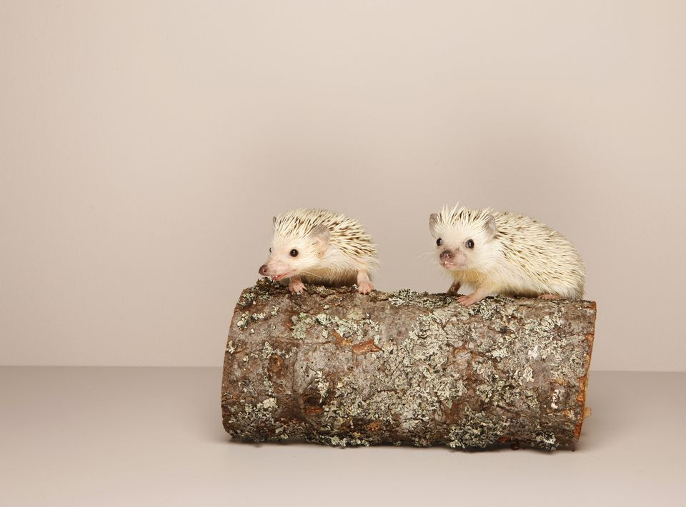 2 hedgehogs on log, studio shot