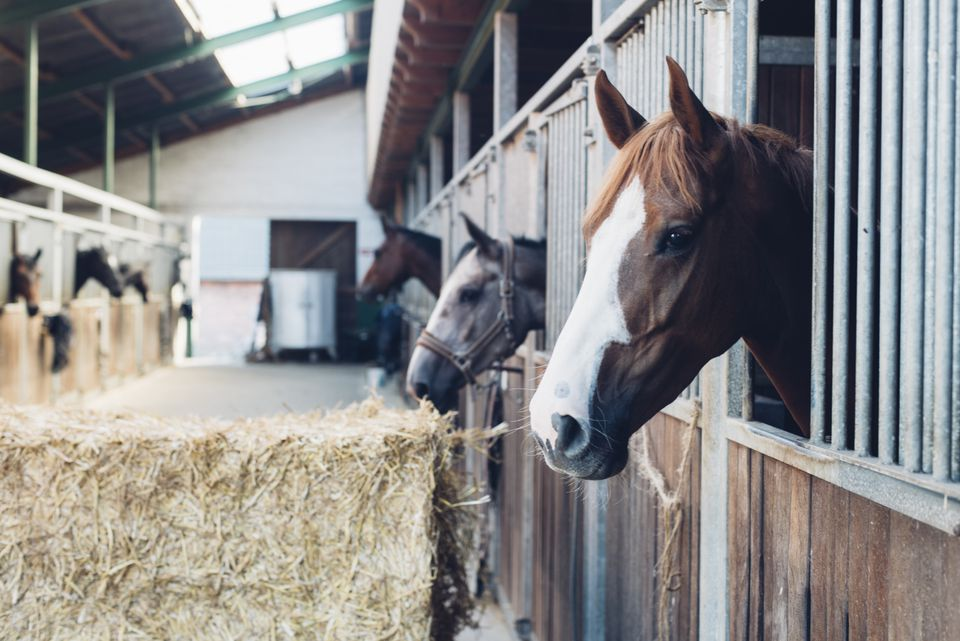 Horse stall with horses looking out of their boxes
