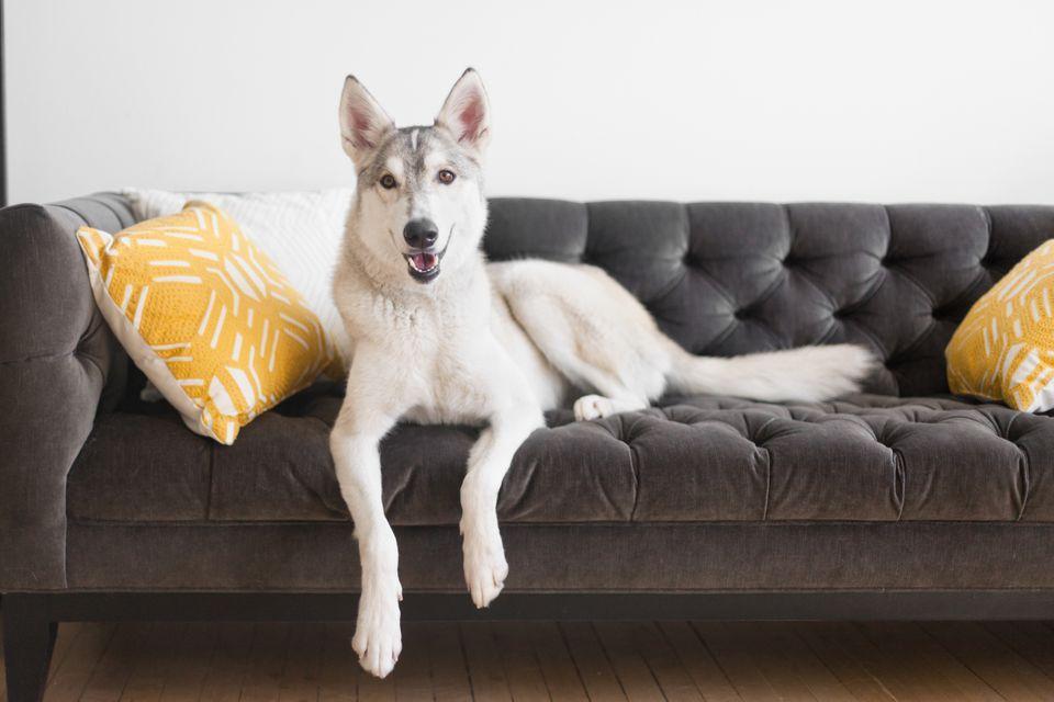 perro colgado en el sofá