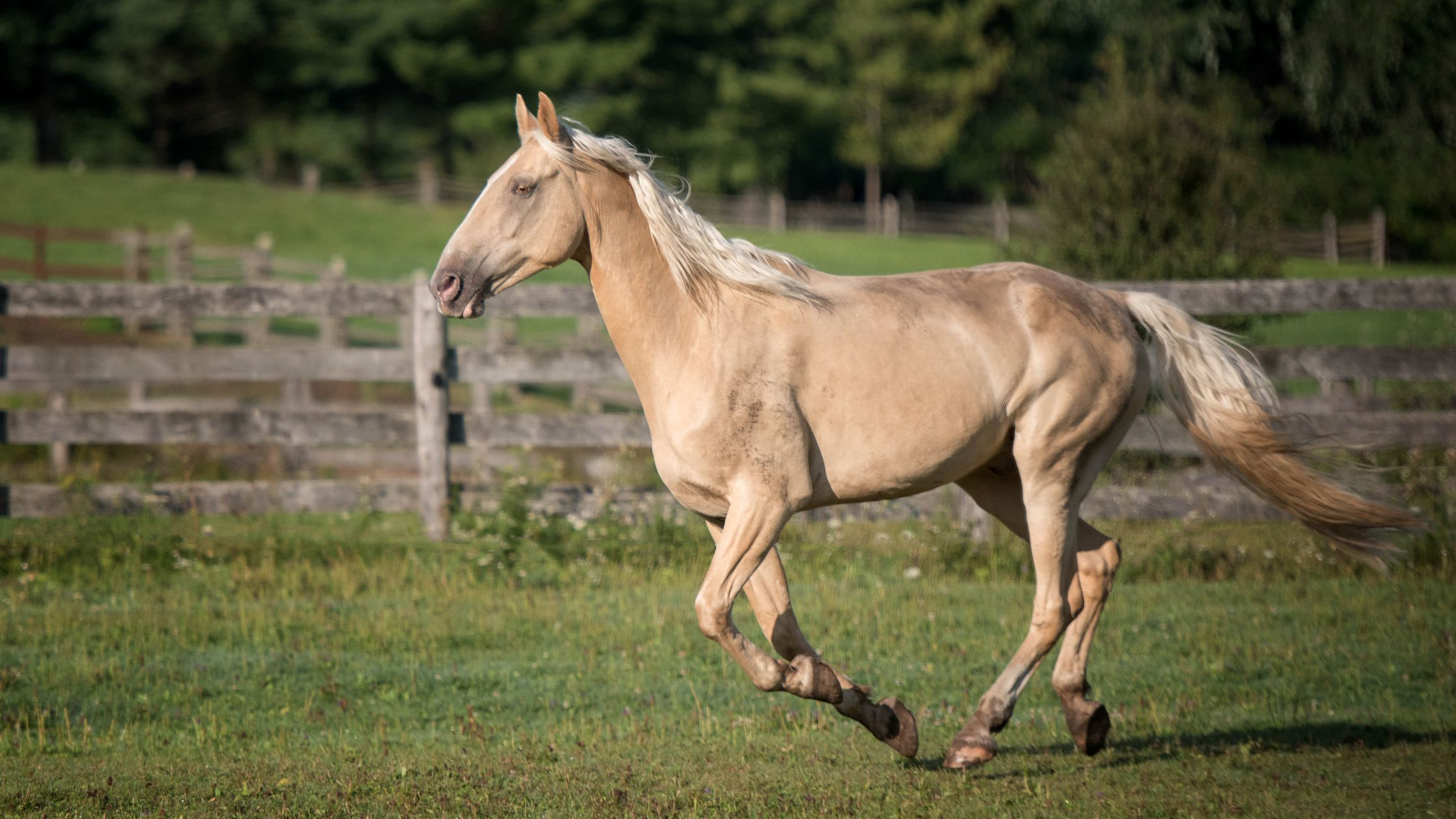Tennessee Walking Horse Breed Profile