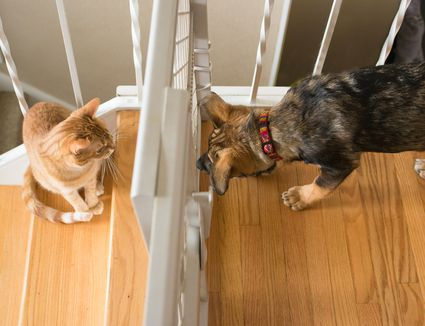 Puppy and cat look at each other through babygate