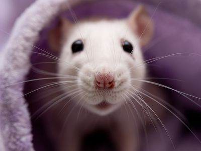 Safe and Toxic Wood for Rats to Chew