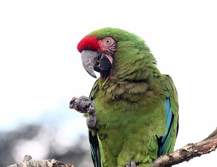 Military Macaw Cracking Nut