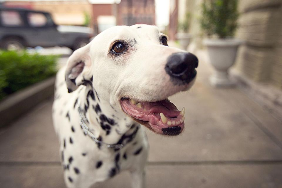 A dalmatian seems to smile for the camera on a city sidewalk