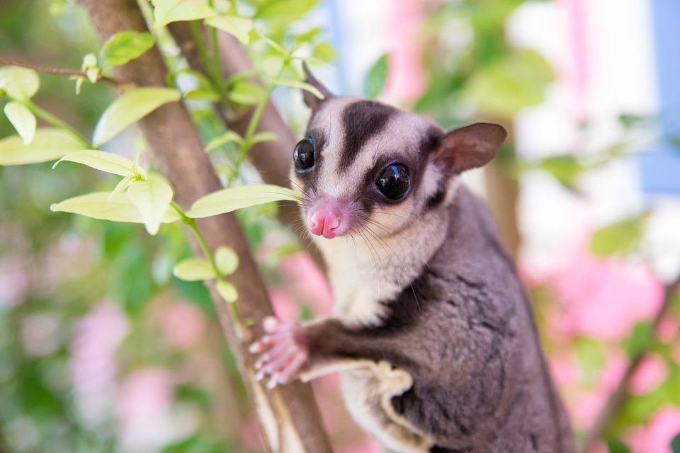 Sugar Glider Climb on the Tree