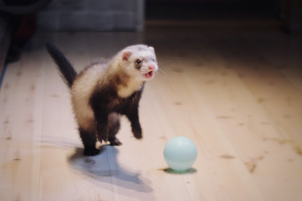 Ferret with light blue ball