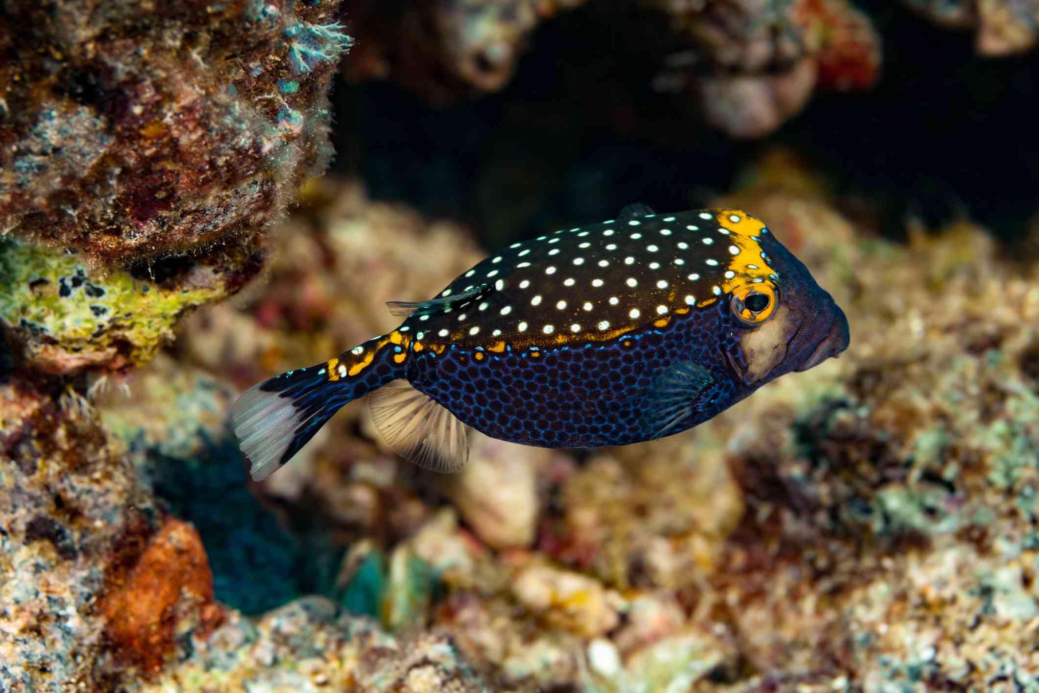 Male Spotted Boxfish (Ostracion Meleagris)