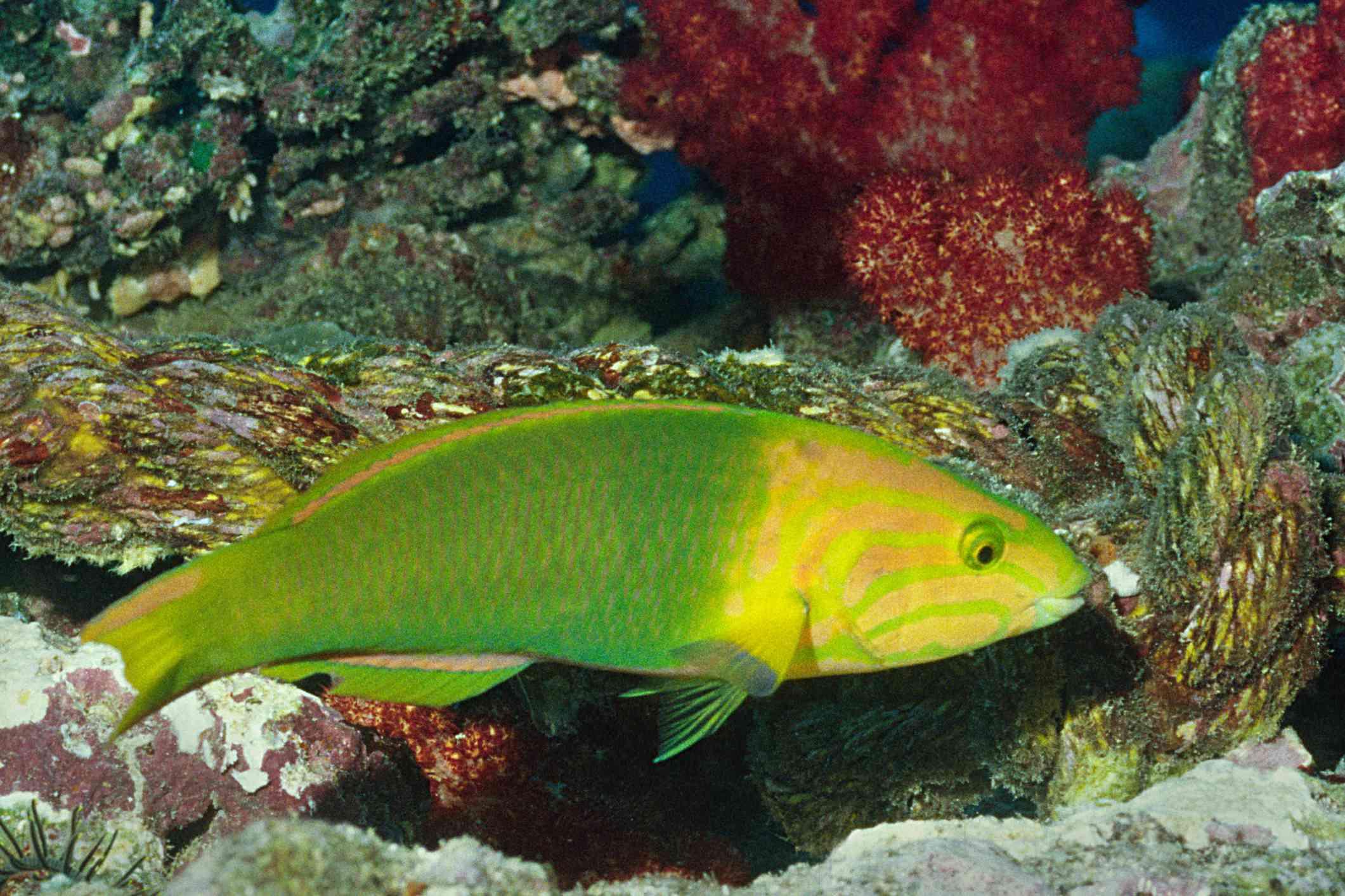 Banana wrasse in coral