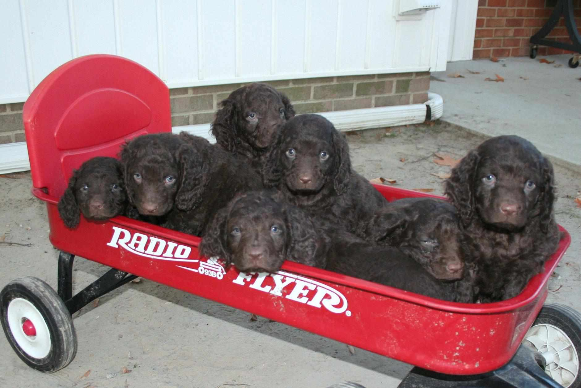 A litter of American Water Spaniel puppies