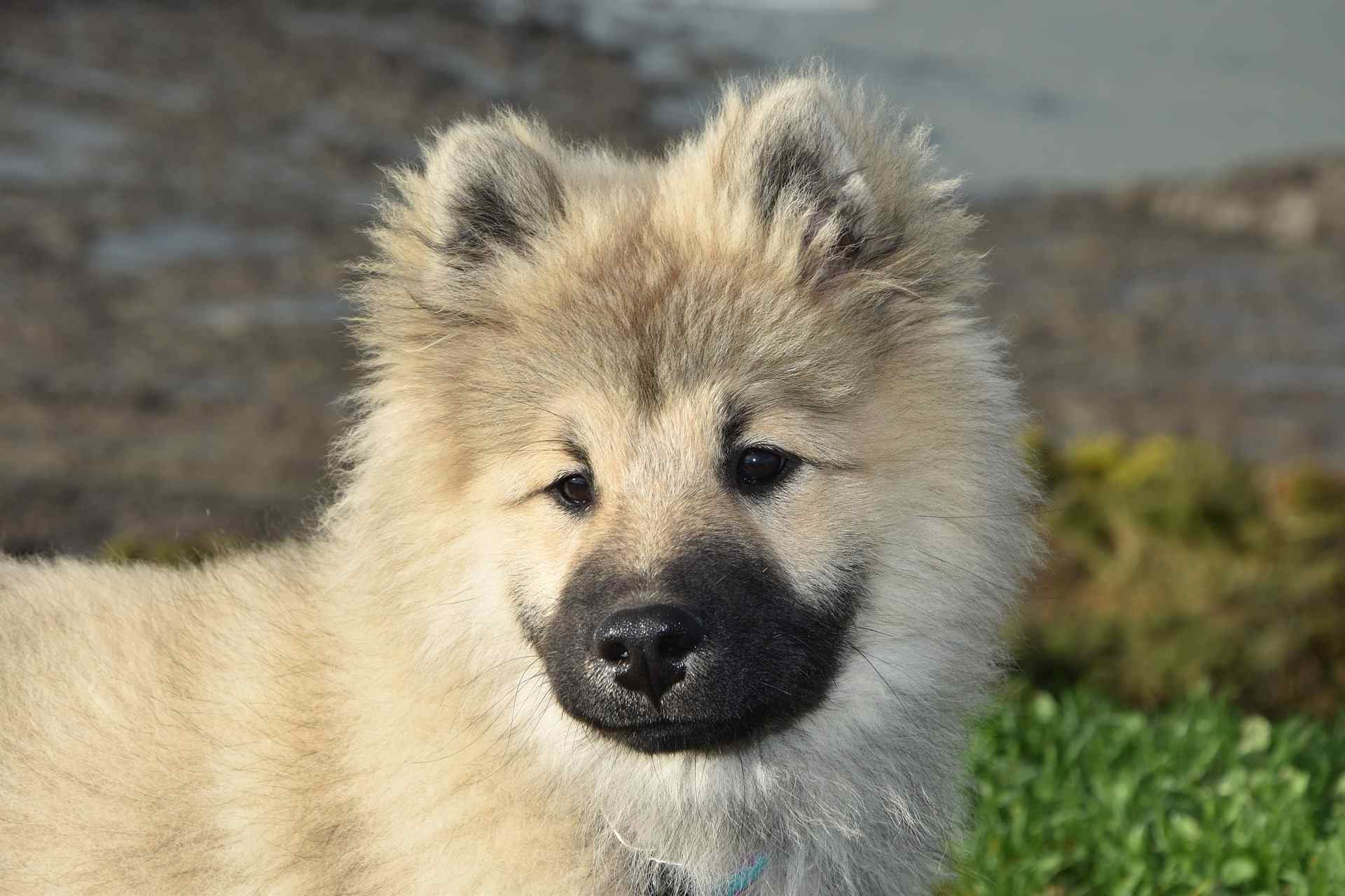 A Eurasier puppy looking into the distance