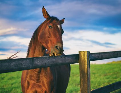 horse chewing wood