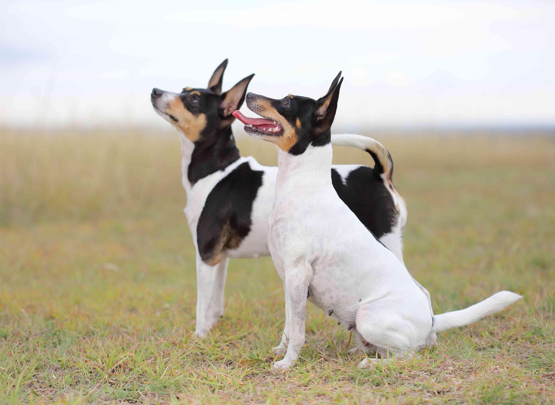 Toy Fox Terriers